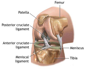 Knee ligaments-r